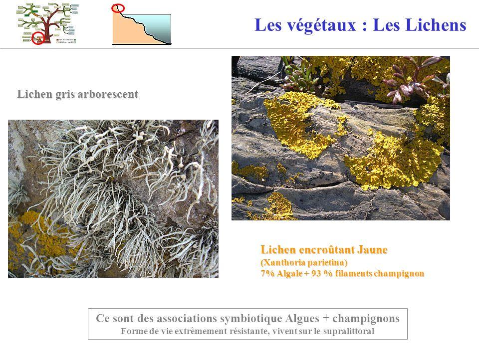 Les végétaux : Les Lichens