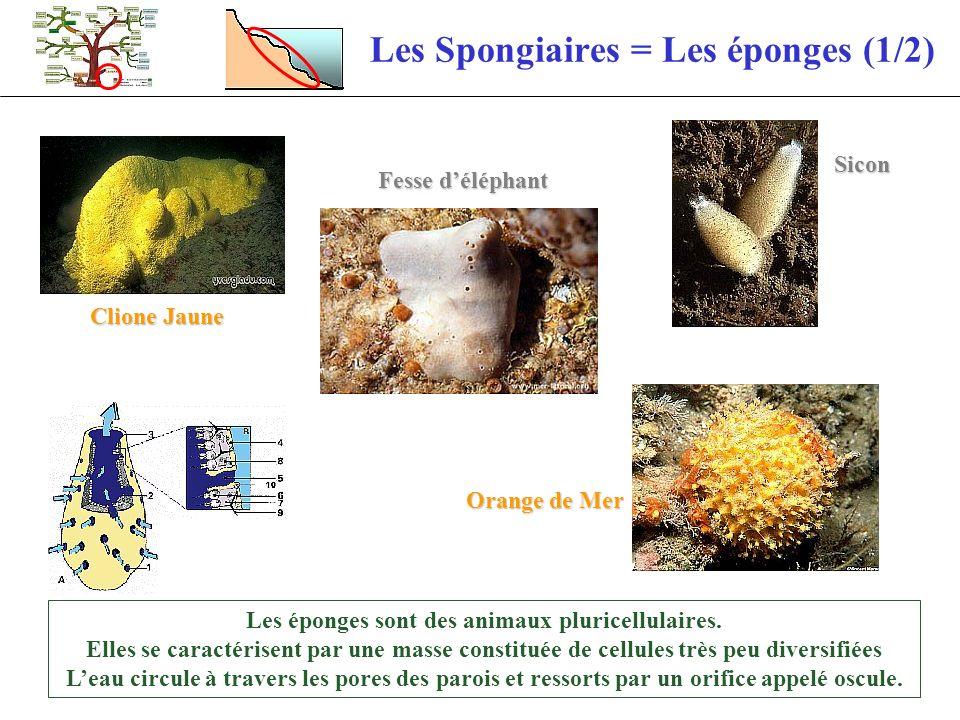 Les Spongiaires = Les éponges (1/2)