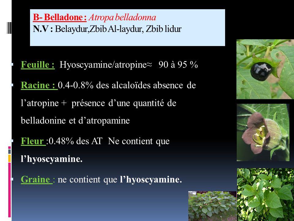 B- Belladone : Atropa belladonna N