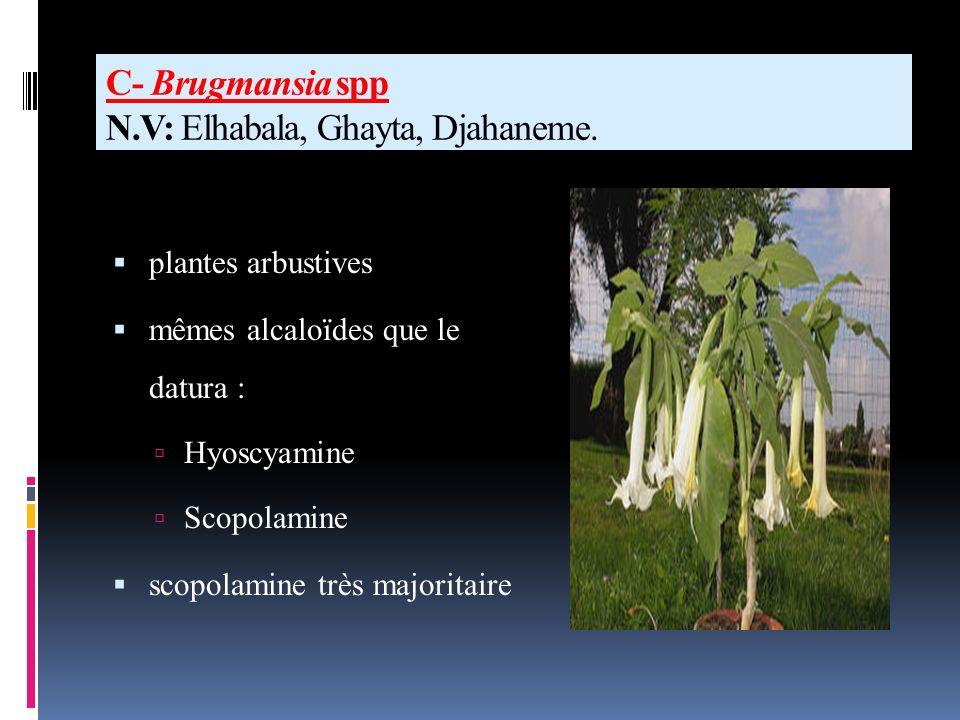 C- Brugmansia spp N.V: Elhabala, Ghayta, Djahaneme.