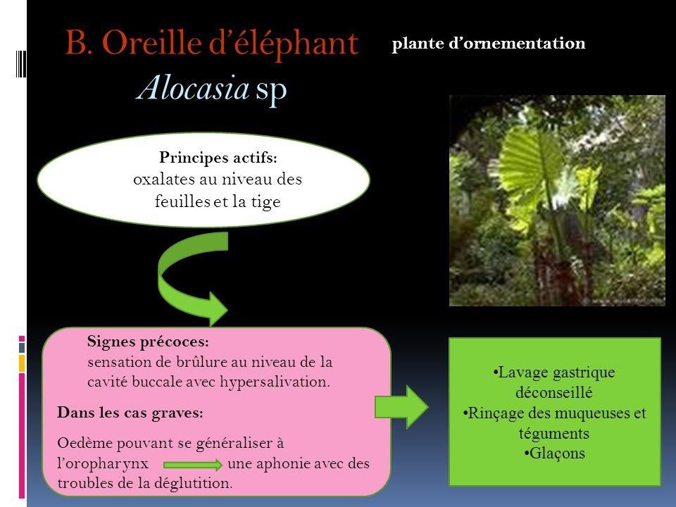 B. Oreille d'éléphant Alocasia sp
