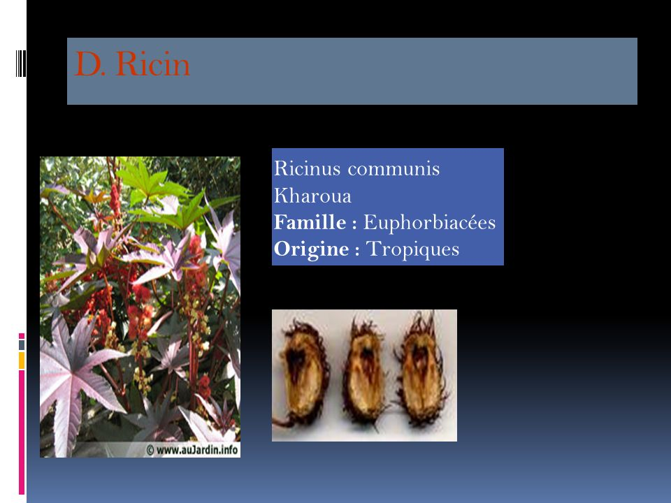 D. Ricin Ricinus communis Kharoua Famille : Euphorbiacées