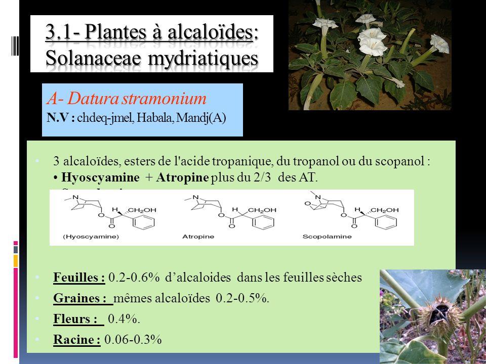 A- Datura stramonium N.V : chdeq-jmel, Habala, Mandj(A)