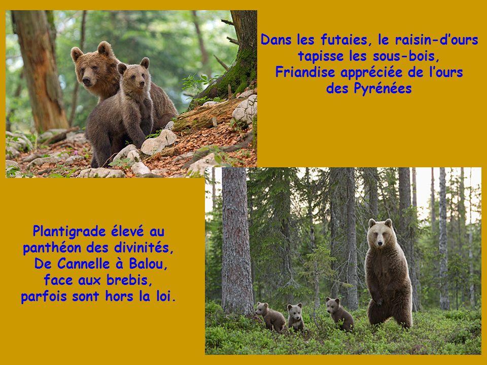 Dans les futaies, le raisin-d'ours tapisse les sous-bois,