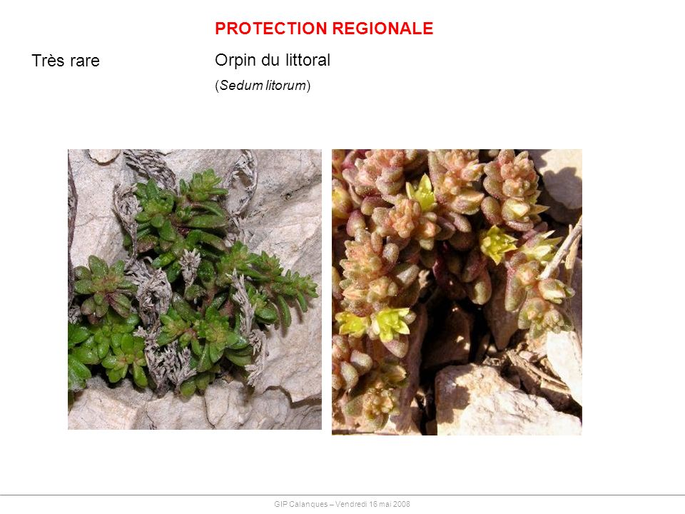 PROTECTION REGIONALE Orpin du littoral Très rare (Sedum litorum)