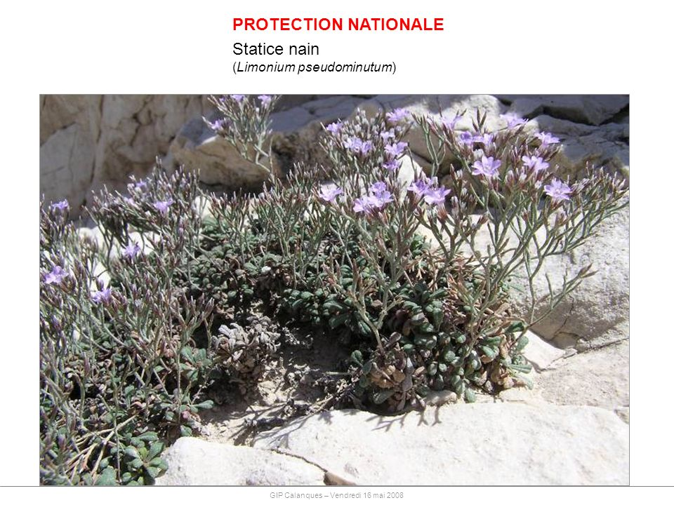 PROTECTION NATIONALE Statice nain (Limonium pseudominutum)