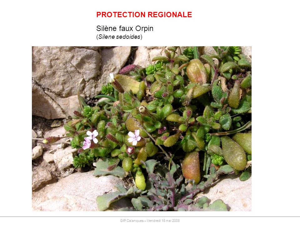 PROTECTION REGIONALE Silène faux Orpin (Silene sedoides)