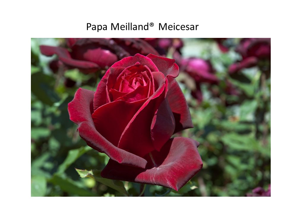 Papa Meilland® Meicesar