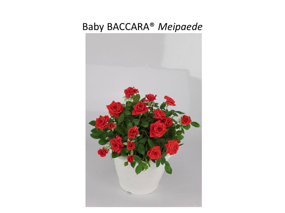 Baby BACCARA® Meipaede