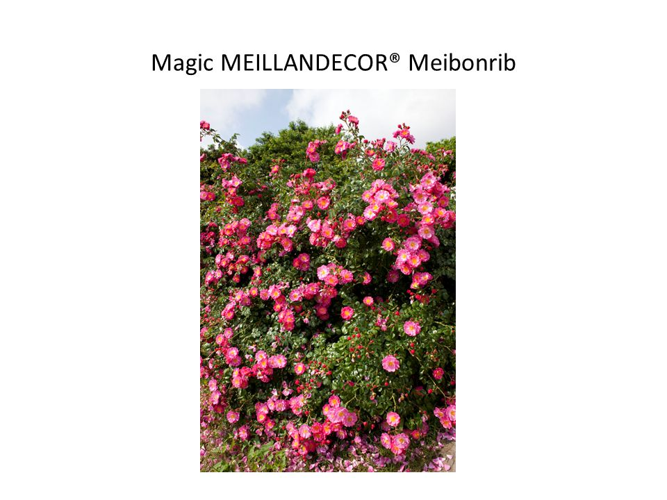 Magic MEILLANDECOR® Meibonrib