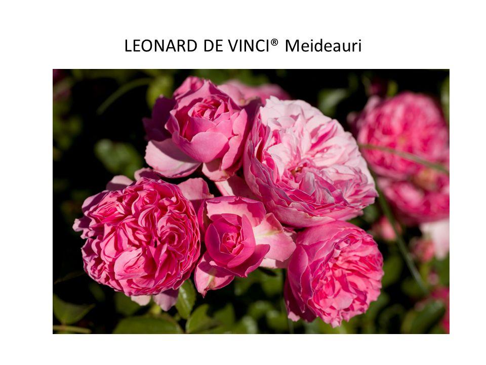 LEONARD DE VINCI® Meideauri