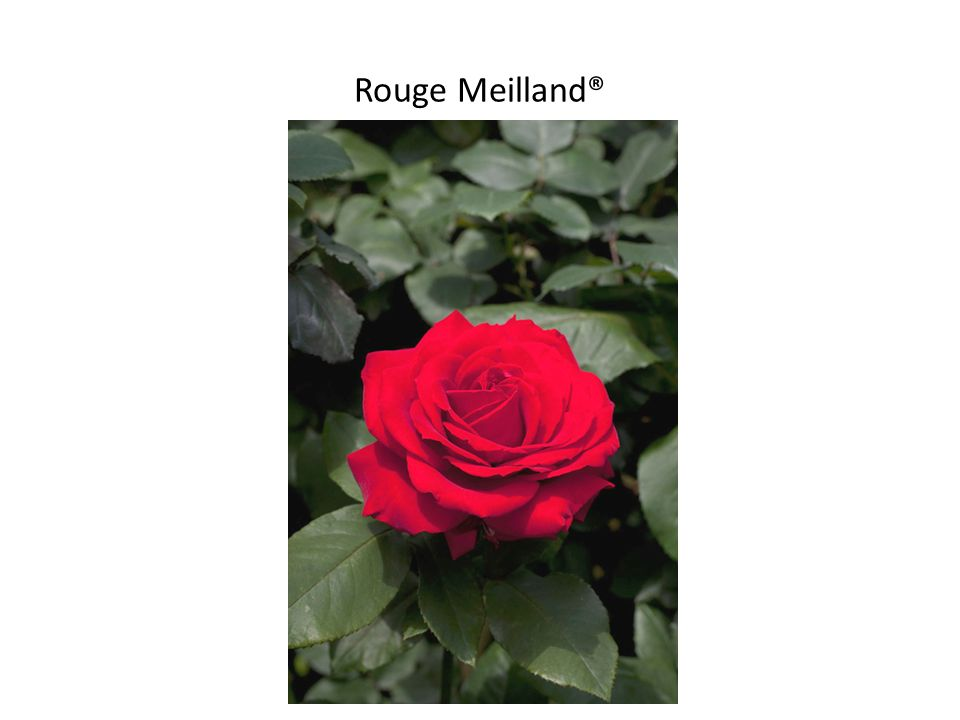 Rouge Meilland®