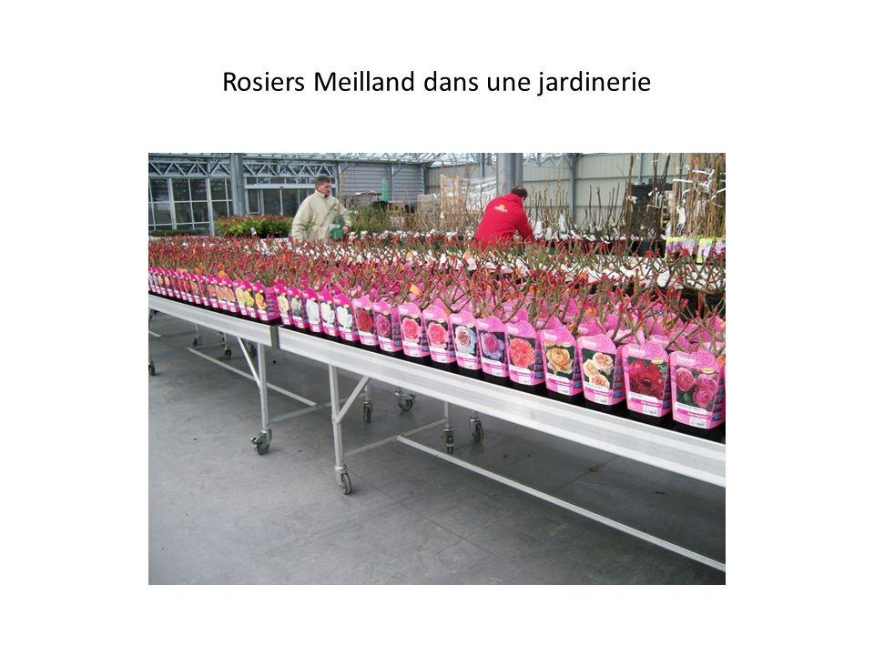 Rosiers Meilland dans une jardinerie