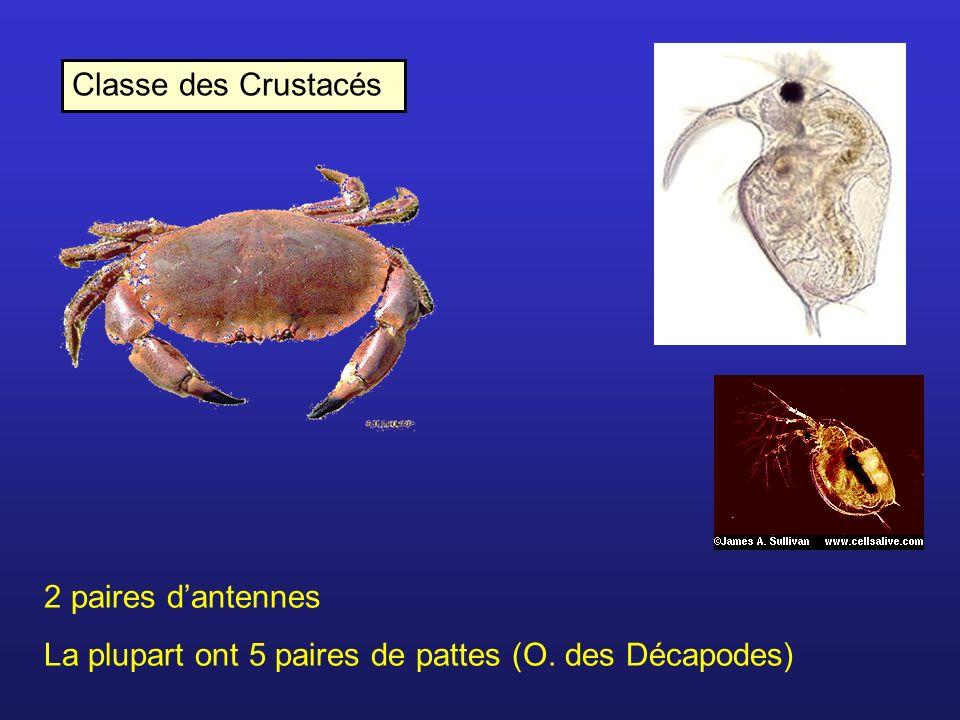 Classe des Crustacés 2 paires d'antennes La plupart ont 5 paires de pattes (O. des Décapodes)