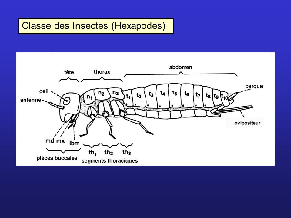 Classe des Insectes (Hexapodes)
