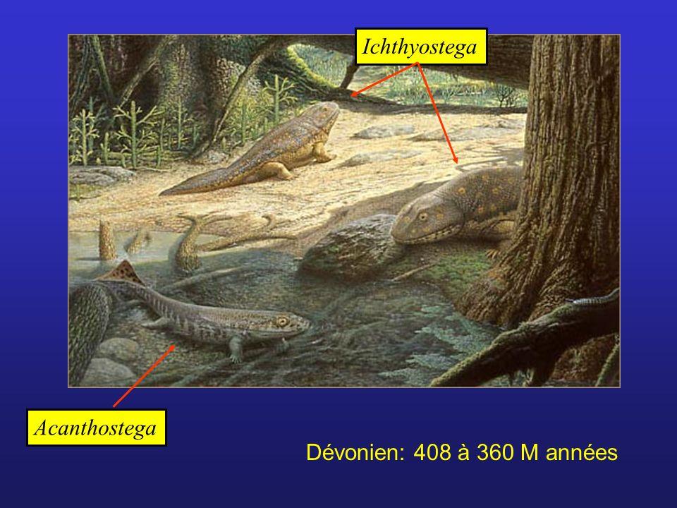 Ichthyostega Acanthostega Dévonien: 408 à 360 M années