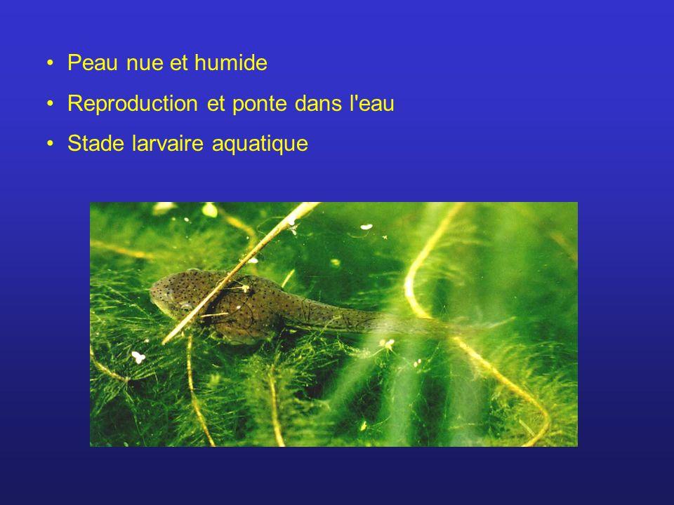 Peau nue et humide Reproduction et ponte dans l eau Stade larvaire aquatique