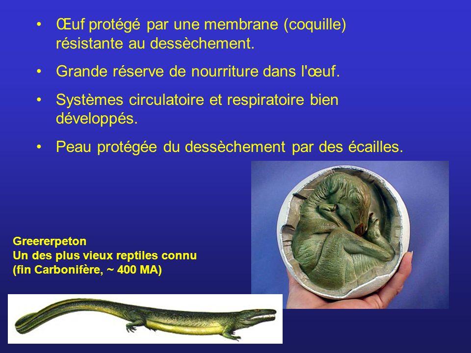 Œuf protégé par une membrane (coquille) résistante au dessèchement.