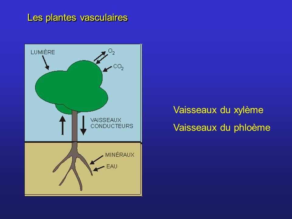 Les plantes vasculaires