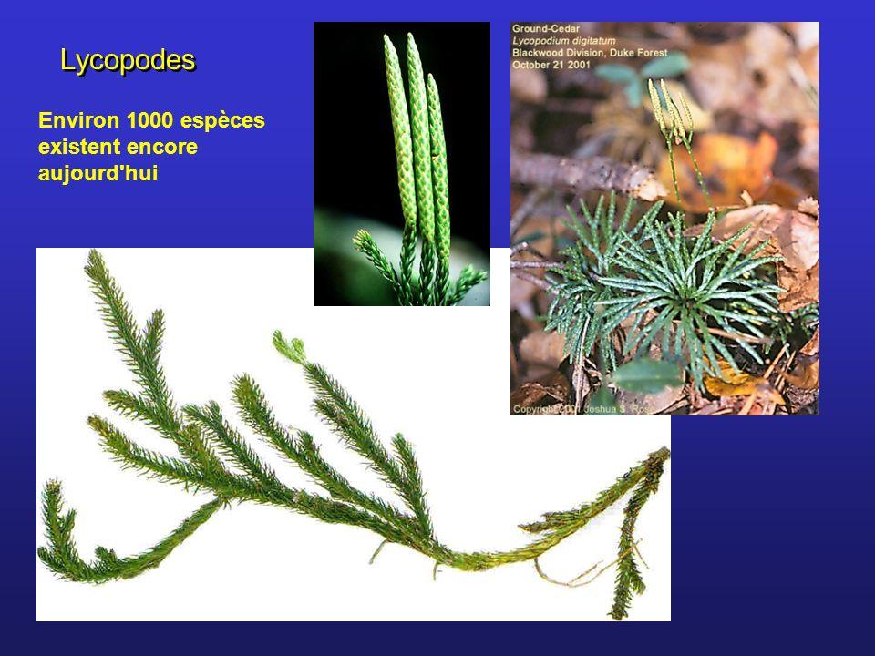 Lycopodes Environ 1000 espèces existent encore aujourd hui