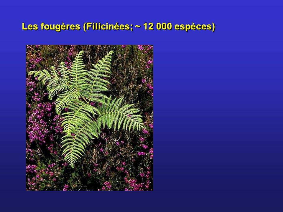 Les fougères (Filicinées; ~ 12 000 espèces)