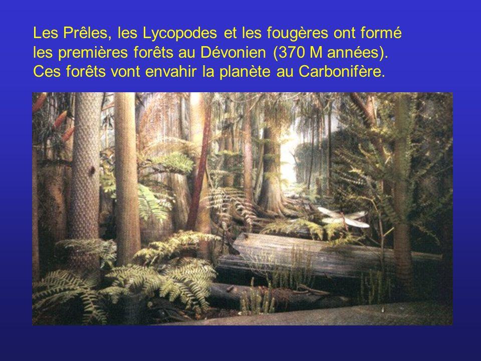 Les Prêles, les Lycopodes et les fougères ont formé les premières forêts au Dévonien (370 M années).