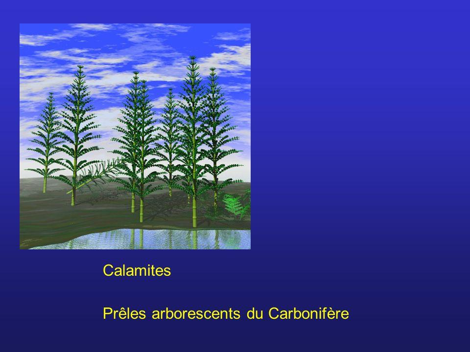 Calamites Prêles arborescents du Carbonifère