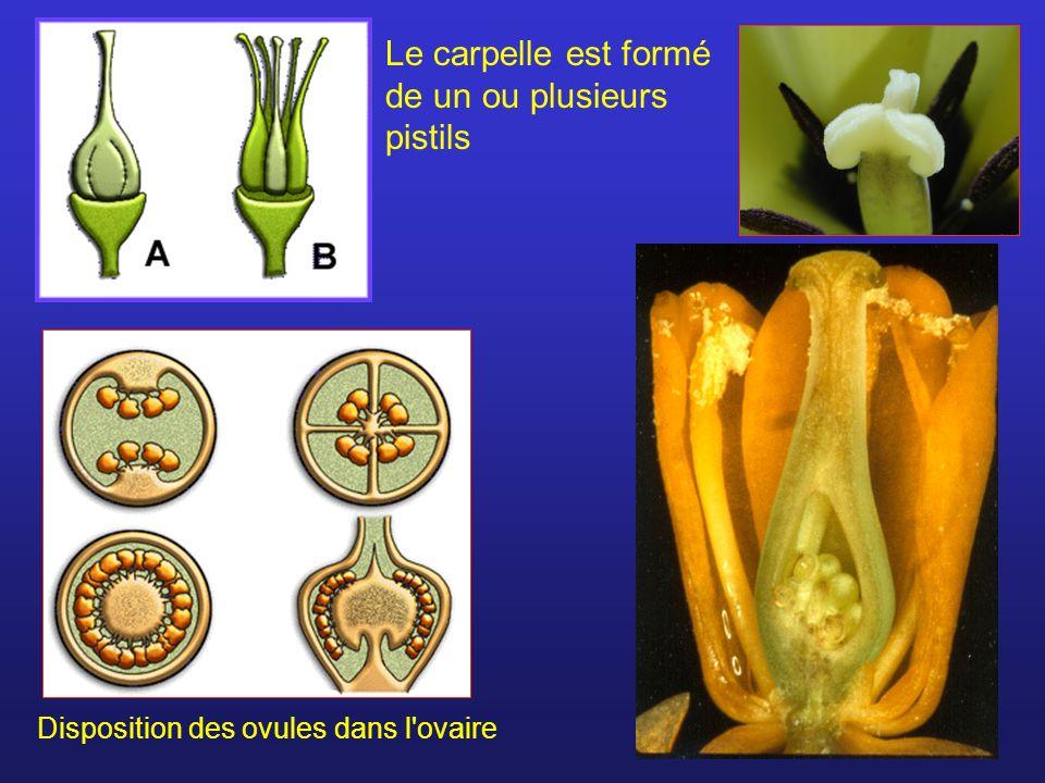 Le carpelle est formé de un ou plusieurs pistils
