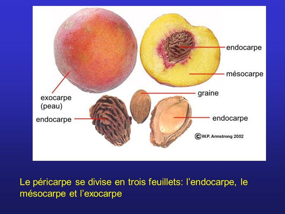 Le péricarpe se divise en trois feuillets: l'endocarpe, le mésocarpe et l'exocarpe
