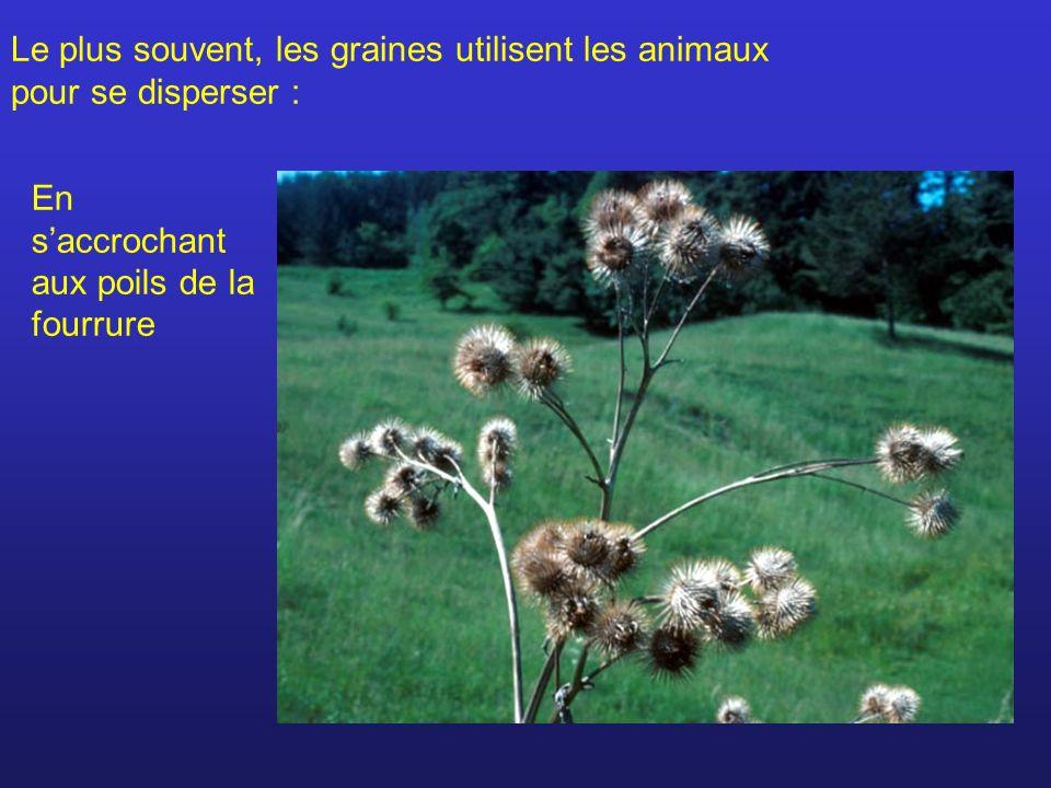 Le plus souvent, les graines utilisent les animaux pour se disperser :