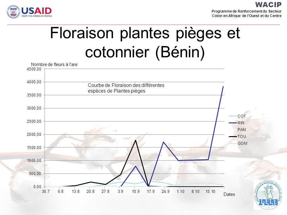 Floraison plantes pièges et cotonnier (Bénin)