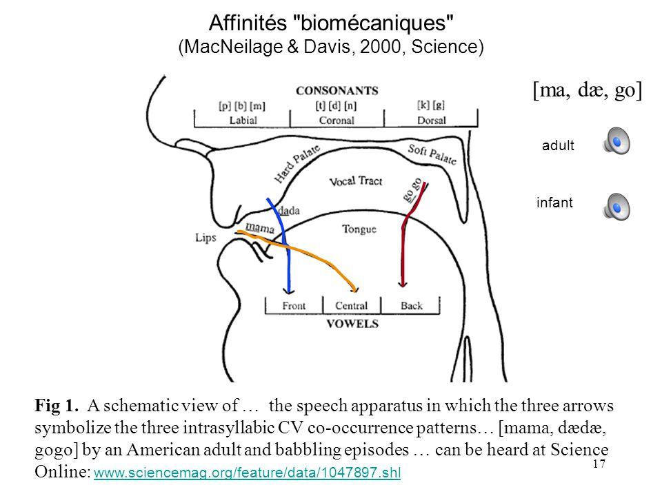 Affinités biomécaniques (MacNeilage & Davis, 2000, Science)