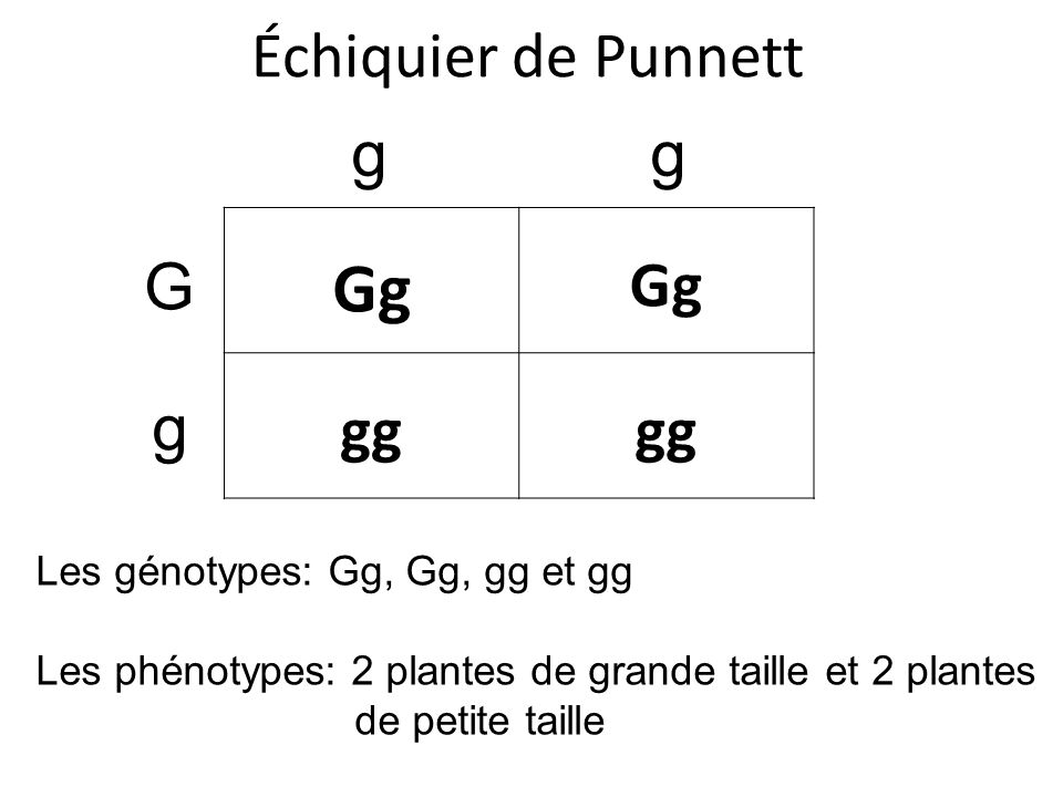 Gg Échiquier de Punnett g g gg G g Les génotypes: Gg, Gg, gg et gg