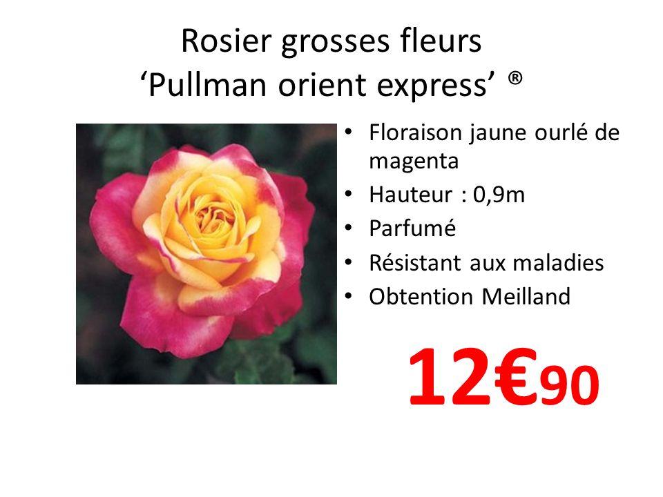 Rosier grosses fleurs 'Pullman orient express' ®