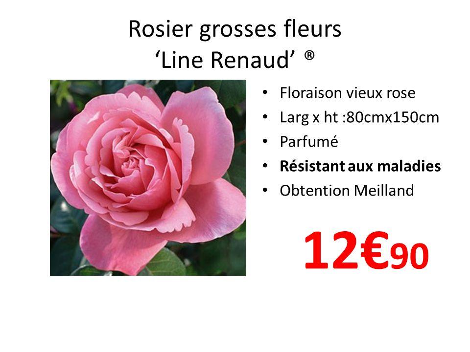 Rosier grosses fleurs 'Line Renaud' ®