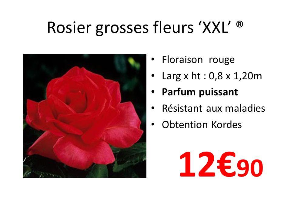 Rosier grosses fleurs 'XXL' ®