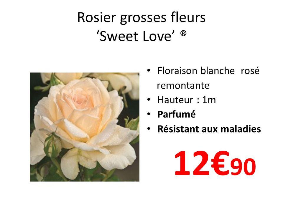 Rosier grosses fleurs 'Sweet Love' ®