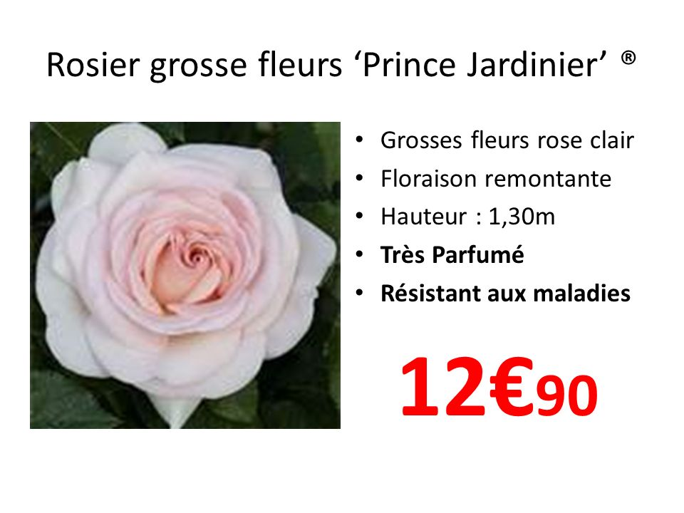 Rosier grosse fleurs 'Prince Jardinier' ®