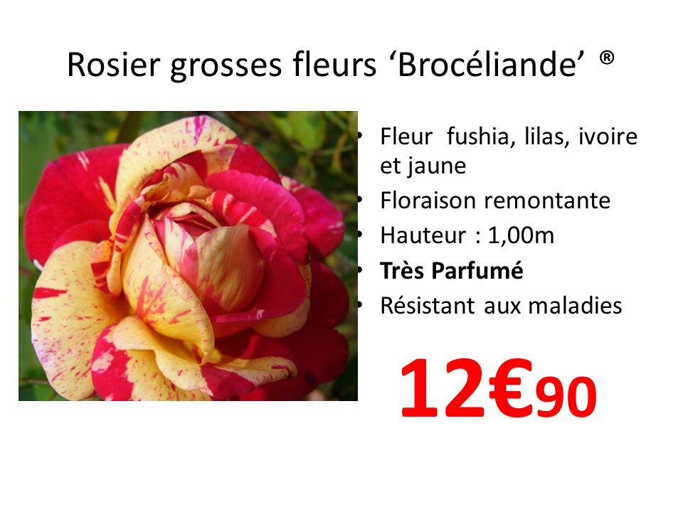 Rosier grosses fleurs 'Brocéliande' ®