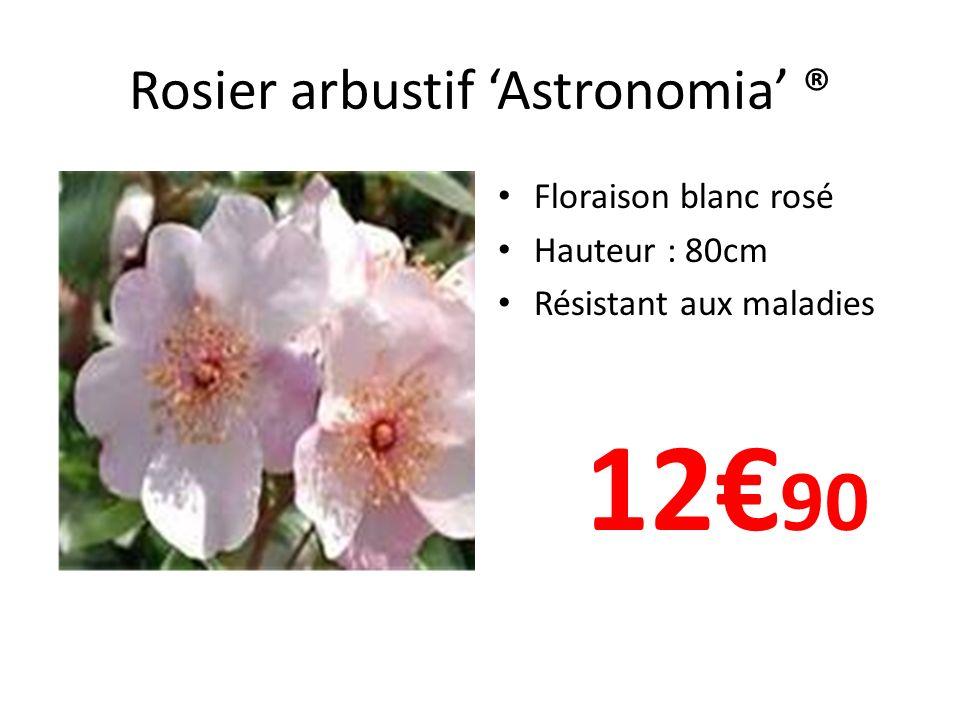 Rosier arbustif 'Astronomia' ®