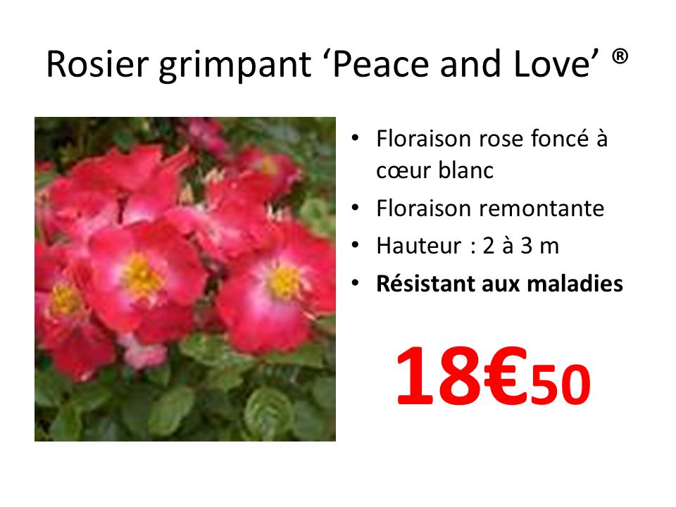 Rosier grimpant 'Peace and Love' ®