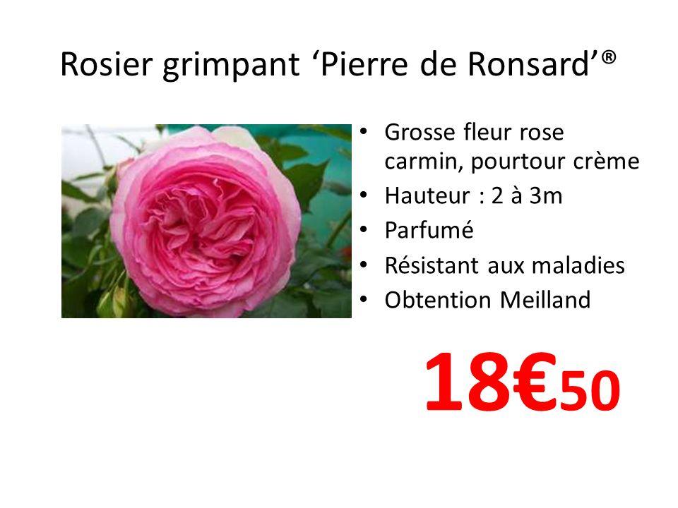 Rosier grimpant 'Pierre de Ronsard'®