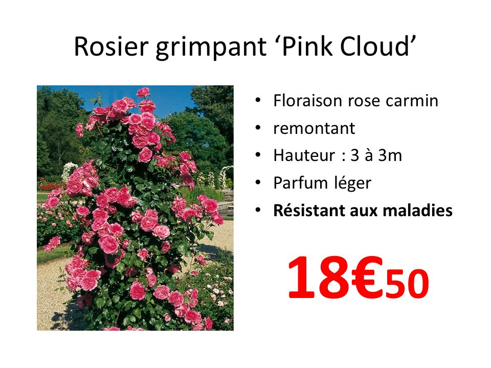 Rosier grimpant 'Pink Cloud'