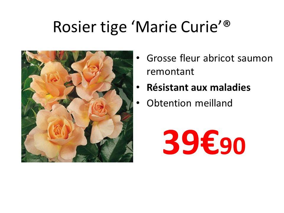 Rosier tige 'Marie Curie'®