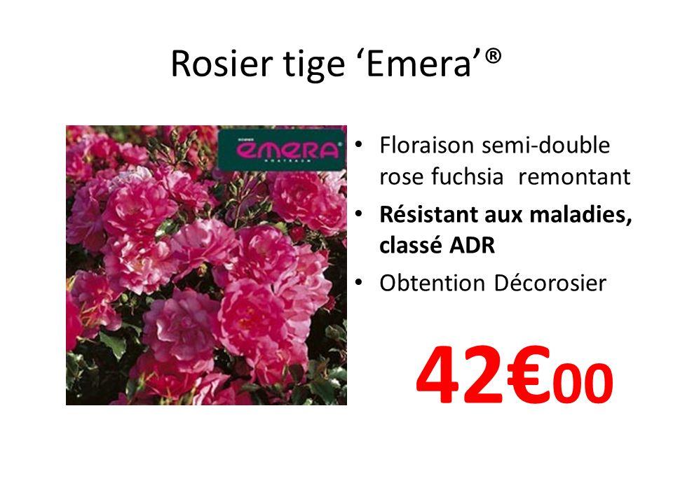 Rosier tige 'Emera'® Floraison semi-double rose fuchsia remontant. Résistant aux maladies, classé ADR.