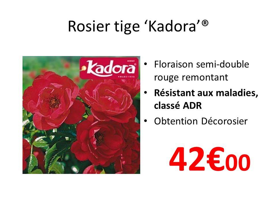 42€00 Rosier tige 'Kadora'® Floraison semi-double rouge remontant