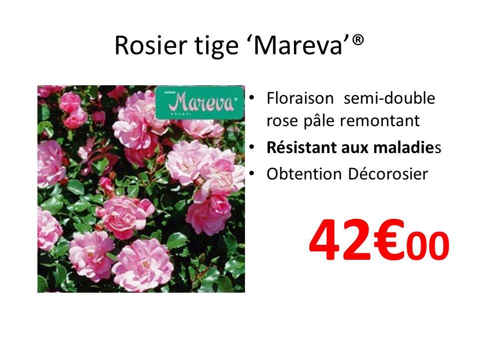 42€00 Rosier tige 'Mareva'® Floraison semi-double rose pâle remontant