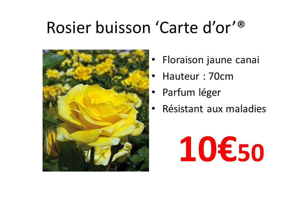 Rosier buisson 'Carte d'or'®
