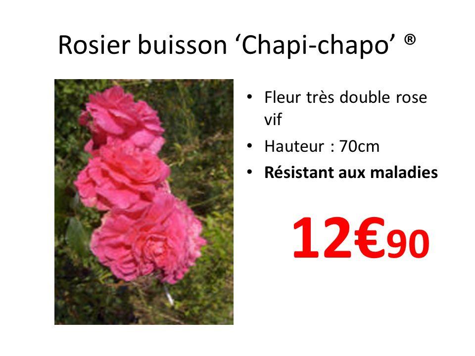 Rosier buisson 'Chapi-chapo' ®