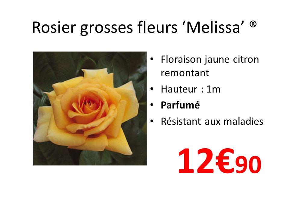 Rosier grosses fleurs 'Melissa' ®